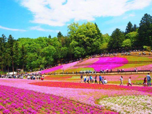 Hitsujiyama Park, Chichibu, Saitama, Japan, moss phlox, flower, spring, 羊山公園, 秩父, 埼玉, 日本, 芝桜
