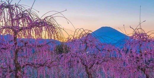 Soga Bessho Bairin, Odawara, Shizuoka, Japan. plum, spring, flower, 曽我別所梅林, 小田原, 静岡, 日本, 梅