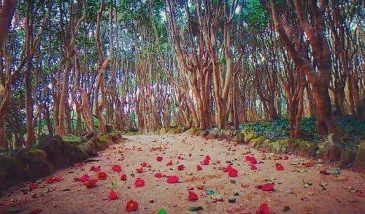 Kasayama Camellia Gregarious Plants Forest, Hagi, Yamaguchi, Japan, Flower, Festival