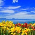 Mt. Hakodate Lily Garden