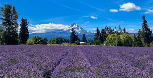 Mt. Hood & Lavender Farm, Hood River, Oregon, United States